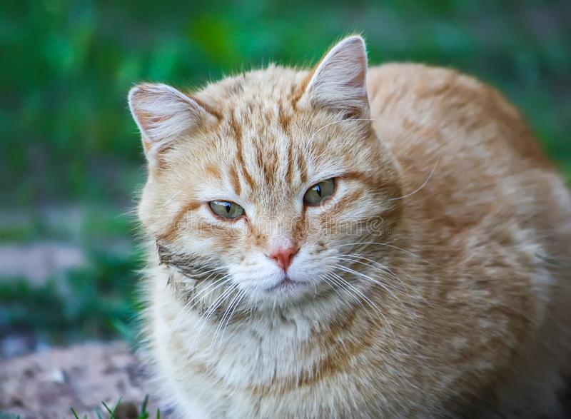 Young active cat with green eyes on summer grass background in a country yard. royalty free stock image