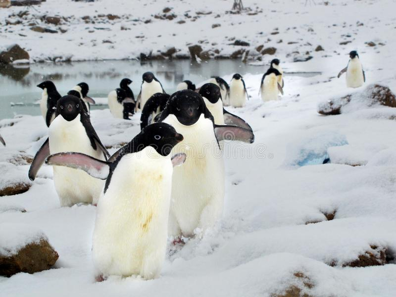 Young adelie penguins walking on stony ground. Overall plan. royalty free stock images