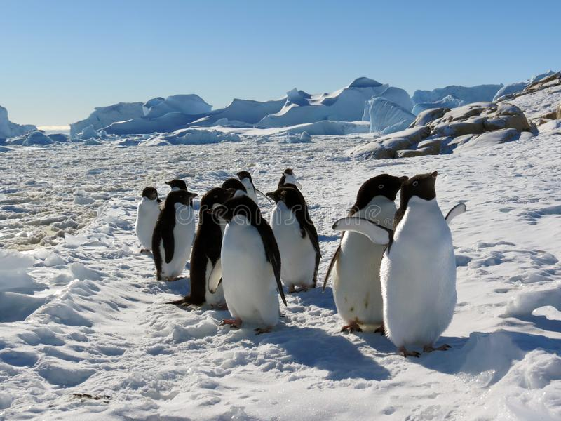 Young adelie penguins walking on stony ground. Overall plan. royalty free stock photo