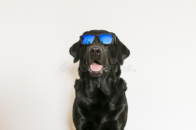 Young adult Black Labrador Retriever isolated on white background wearing sunglasses. Fun and lifestyle stock photos