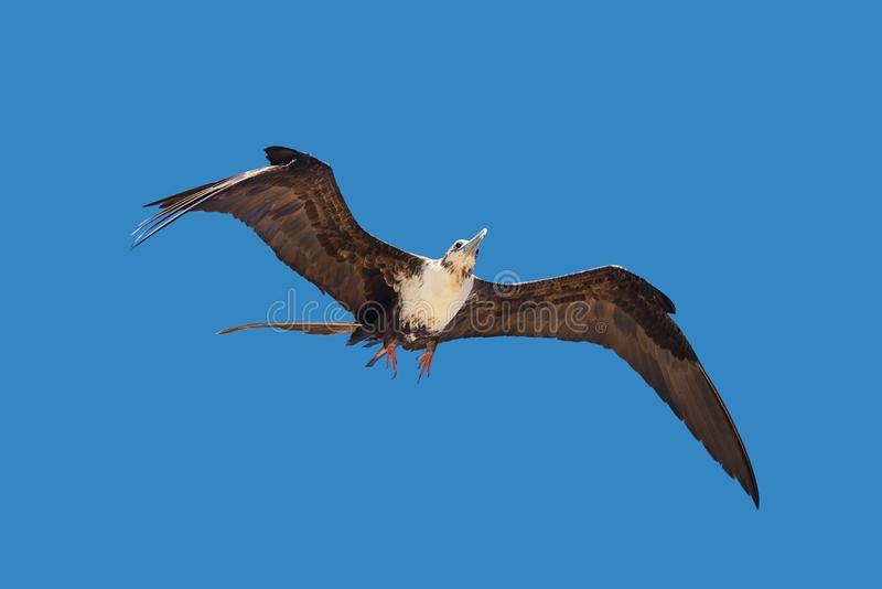 Young adult female Fregata magnificens magnificent frigatebird. Flying on blue sky background royalty free stock photos