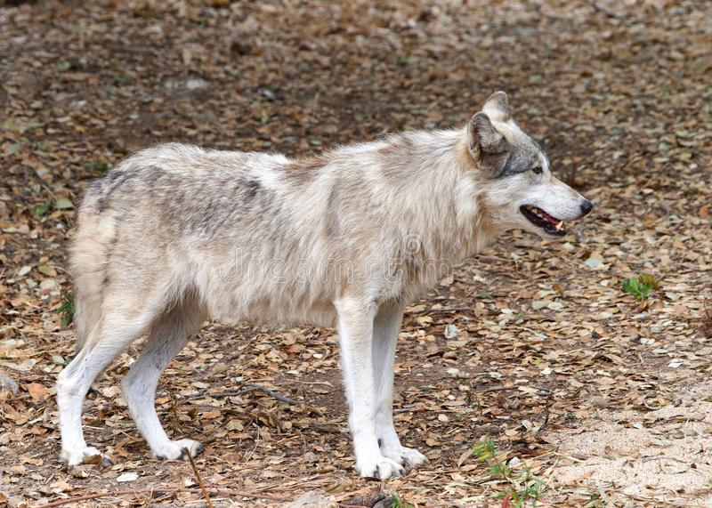 Young adult grey wolf standing on brown dry leaves royalty free stock photo