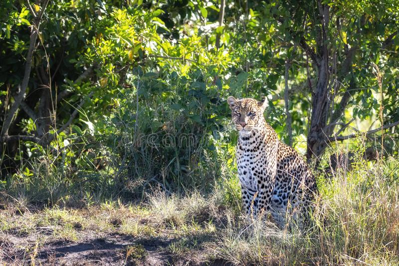 Young adult leopard, Panthera pardus, in the undergrowth of the Masai Mara royalty free stock images