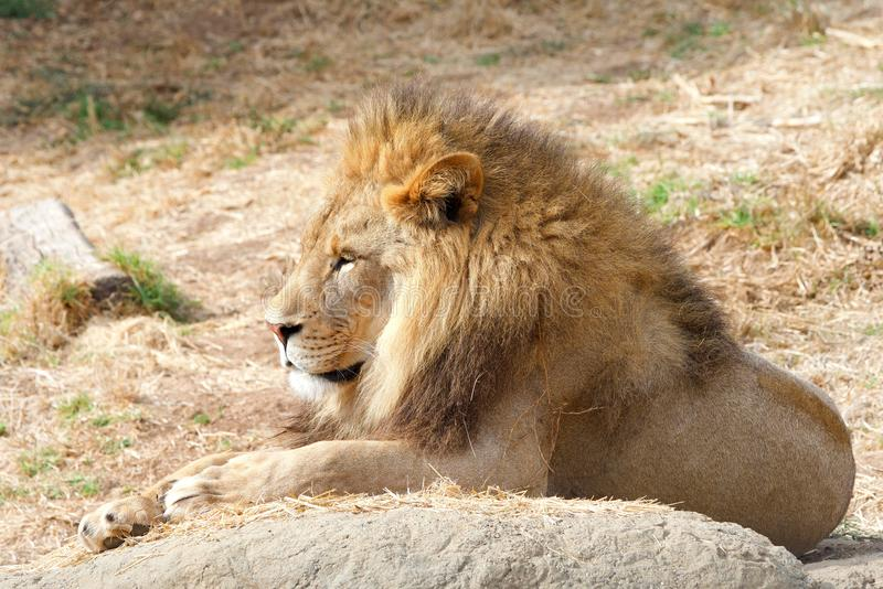 Young adult male lion laying on a rock in dry grass stock photo