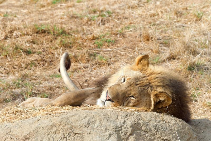 Young adult male lion laying on a rock napping royalty free stock image