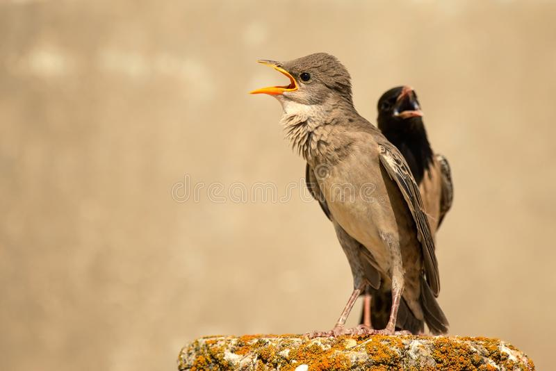 Young and adult rosy Starling stands on a beautiful background.  stock image