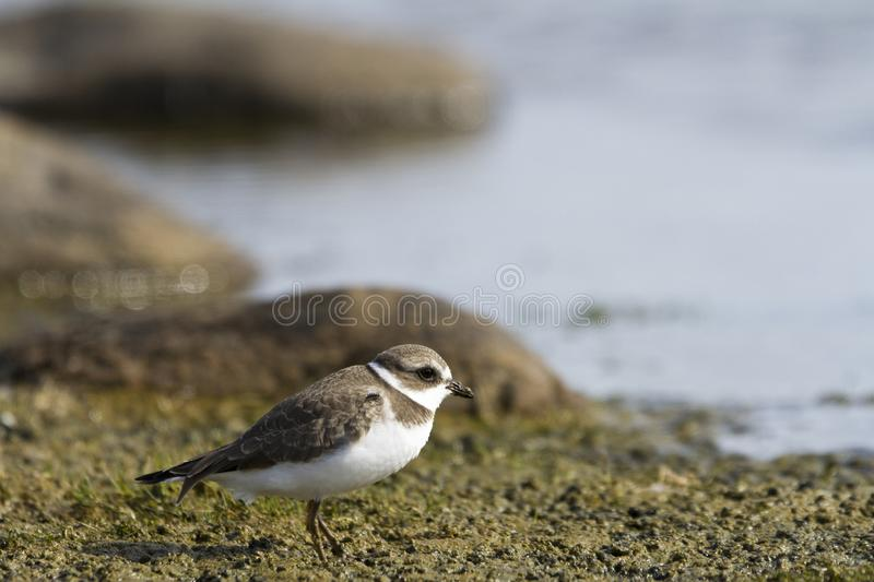Young adult Semipalmated Plover, Charadrius semipalmatus, standing on a marshy shoreline, near Arviat. Nunavut Canada royalty free stock photography