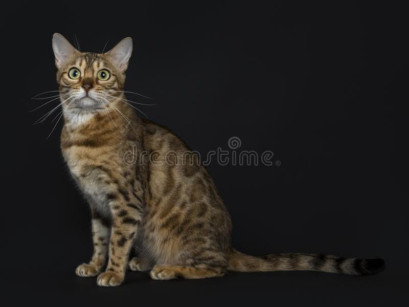 Young adult shiny female with yellow / green eyes bengal cat sitting side ways and looking at camera isolated on black background stock photo