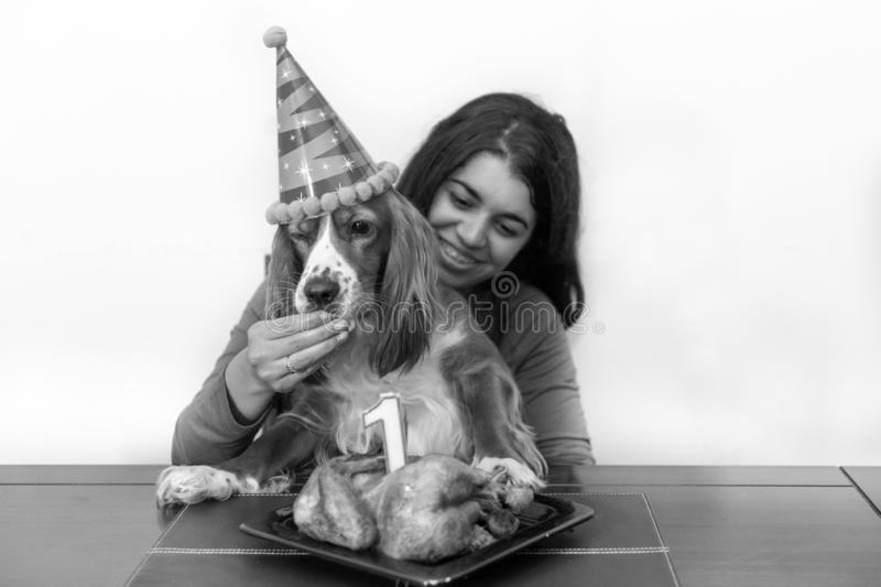 Animal themes: Cocker Spaniel pet first anniversary celebration stock images