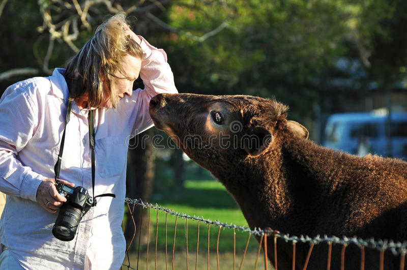 Young affectionate loving calf cow gets close and personal with woman pet photographer. A candid portrait of a woman pet photographer doing a shoot at a rural royalty free stock images