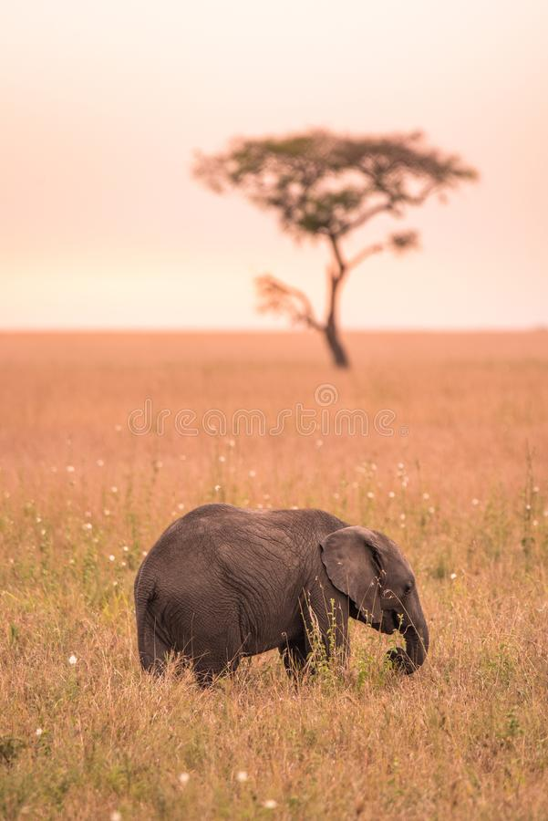 Young African Baby Elephant in the savannah of Serengeti at sunset. Acacia trees on the plains in Serengeti National Park, royalty free stock photo