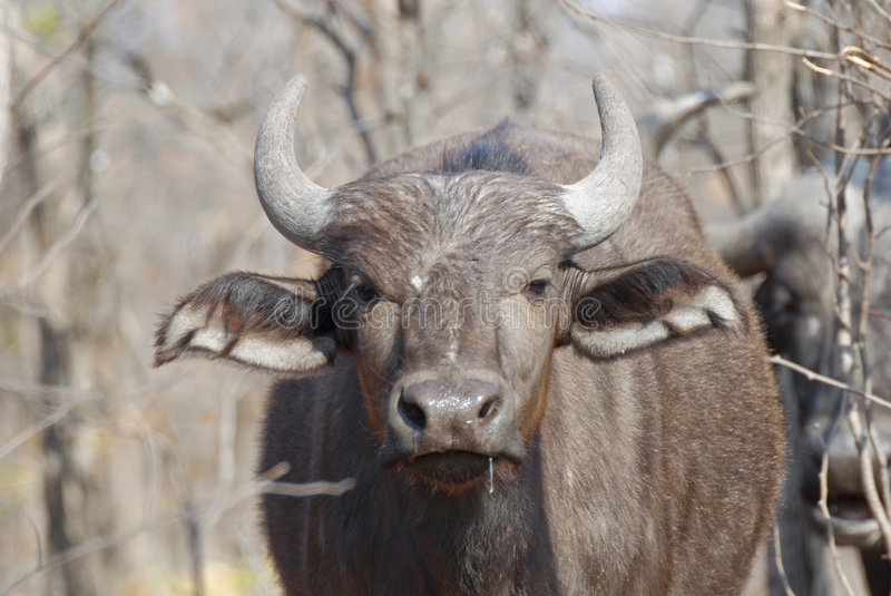 Download Young African Buffalo stock photo. Image of five, park - 6730366
