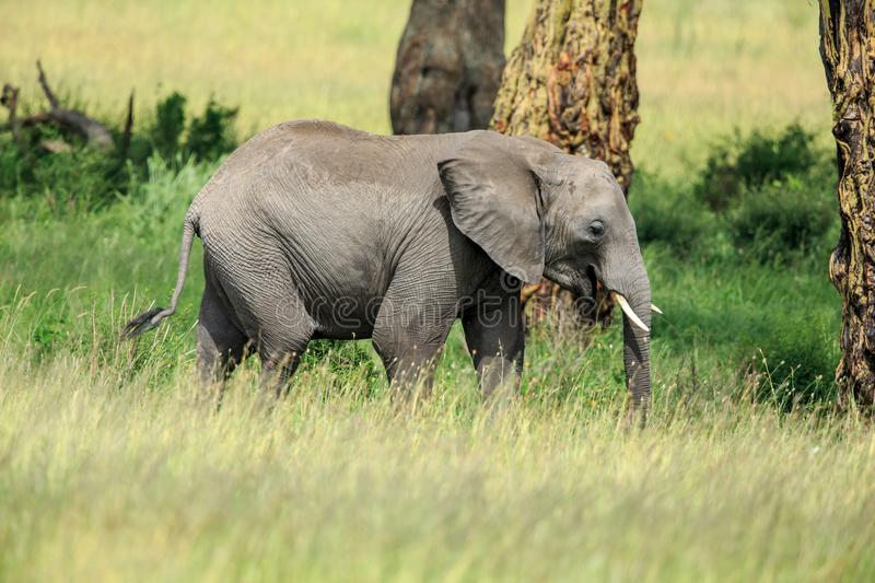 A young African Bush Elephant trailing behind the herd stock photos