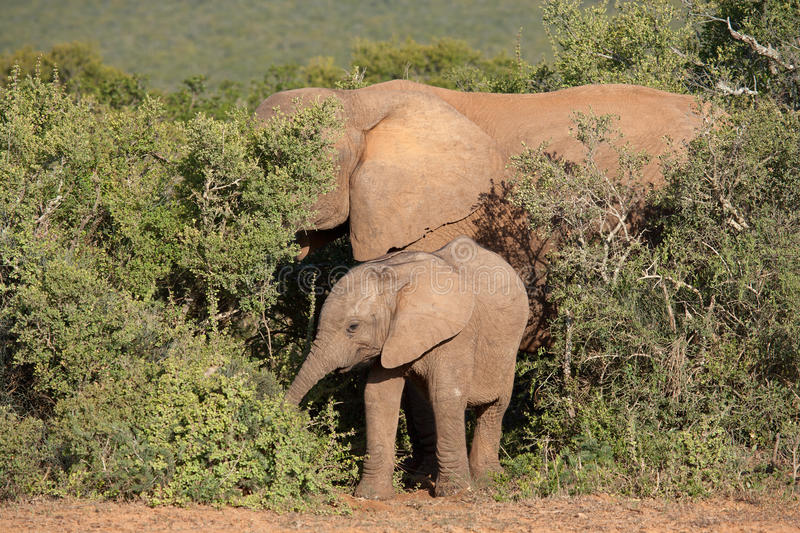 Young African elephant royalty free stock image