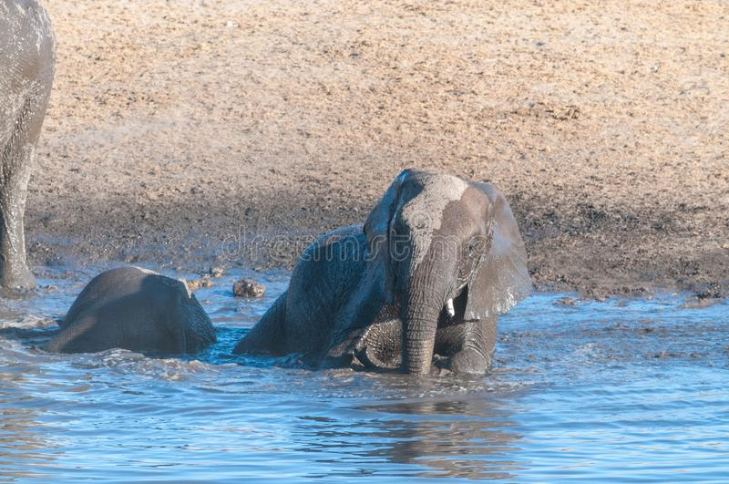 A young African Elephant Bathing in a waterhole. A Baby African Elephant -Loxodonta Africana- is taking a bath in a waterhole in Etosha National Park, Namibia royalty free stock photos