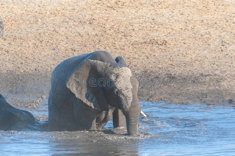 A young African Elephant Bathing in a waterhole. A Baby African Elephant -Loxodonta Africana- is taking a bath in a waterhole in Etosha National Park, Namibia stock photography