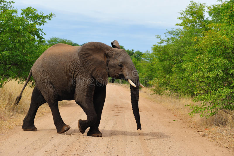 Young African Elephant (Loxodonta Africana) Royalty Free Stock Photo