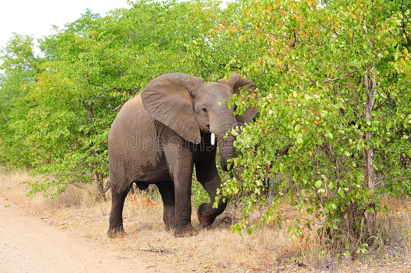 Download Young African Elephant (Loxodonta Africana) Stock Images - Image: 13307794
