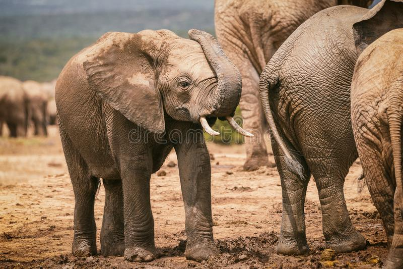 Young african elephant playing with trunk in Addo National Park stock photo