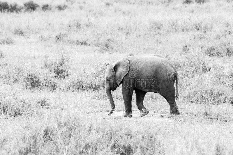 Young African elephants Loxodonta africana royalty free stock photography