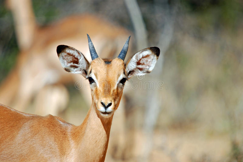 Young African Impala royalty free stock image