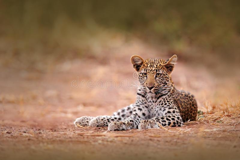 Young African Leopard, Panthera pardus shortidgei, Hwange National Park, Zimbabwe. Beautiful wild cat sitting on the gravel road i. Young African Leopard royalty free stock image