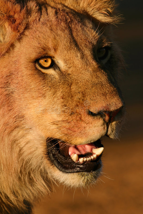 Young African lion royalty free stock photography