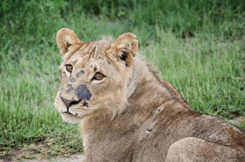 Young african lion in Chobe national park. Closeup portrait of a cute young african lion in Chobe royalty free stock photo