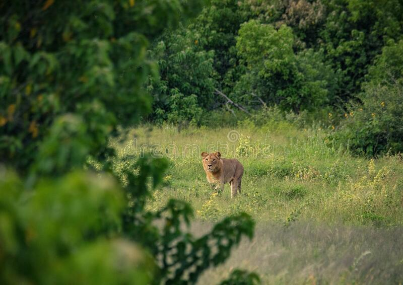 Young african Lion on the hunt in the Chobe Nationalpark in Botswana. During summer royalty free stock photography