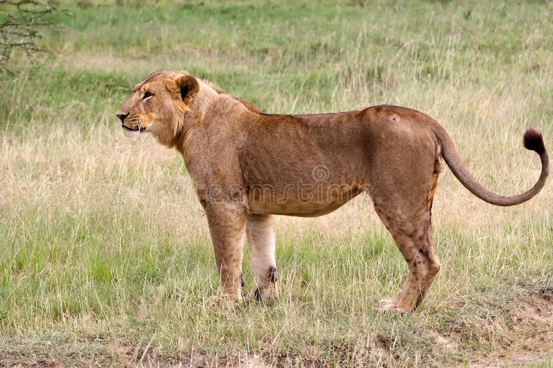 Young African lion (Panthera leo). Is ready to hunt royalty free stock photo