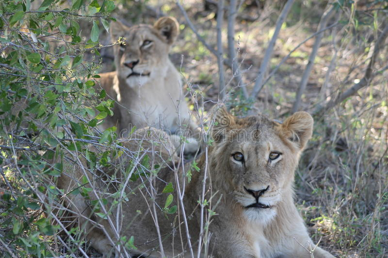 Young African Lion royalty free stock image