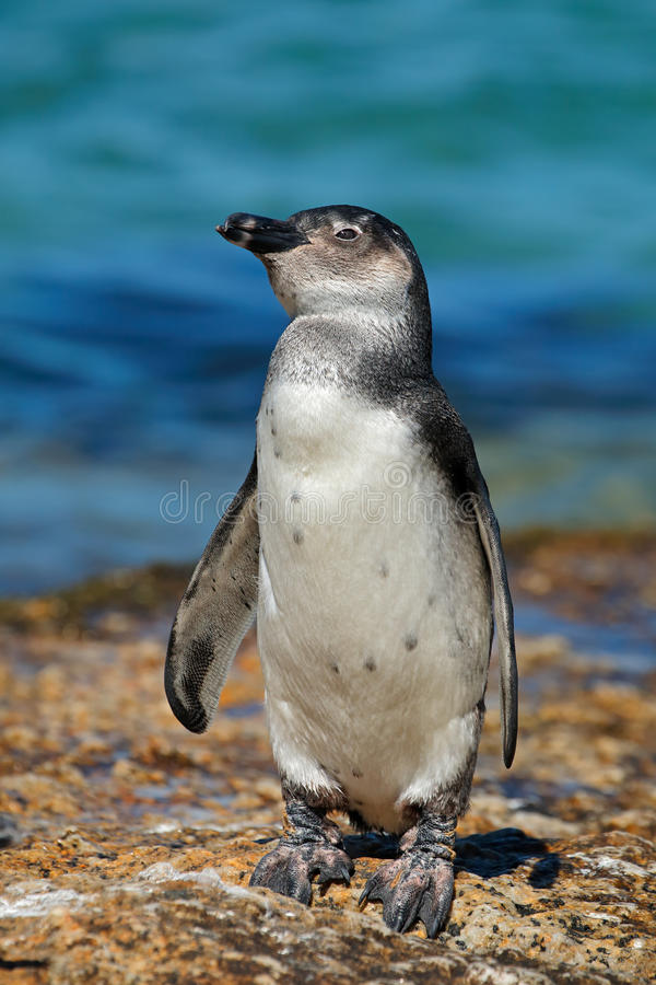 Young African penguin royalty free stock photography