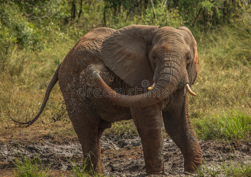 Young african savannah elephant bull at a waterhole spraying mud on his body as sun protection at the Hluhluwe iMfolozi Park. In South Africa stock images
