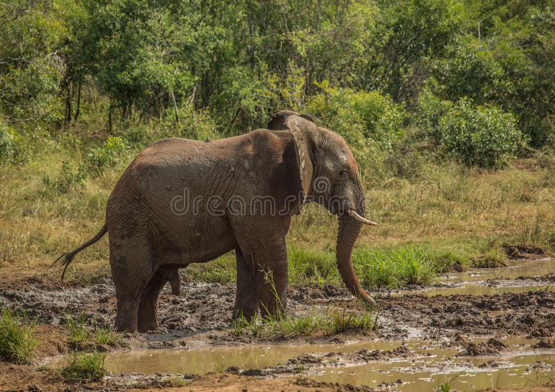 Young african savannah elephant bull at a waterhole spraying mud on his body as sun protection at the Hluhluwe iMfolozi Park. In South Africa royalty free stock photos