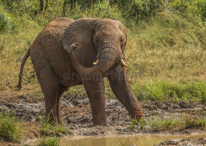 Young african savannah elephant bull at a waterhole spraying mud on his body as sun protection at the Hluhluwe iMfolozi Park. In South Africa stock photo