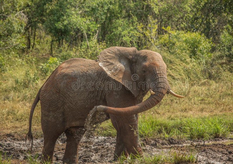 Young african savannah elephant bull at a waterhole spraying mud on his body as sun protection at the Hluhluwe iMfolozi Park. In South Africa royalty free stock image