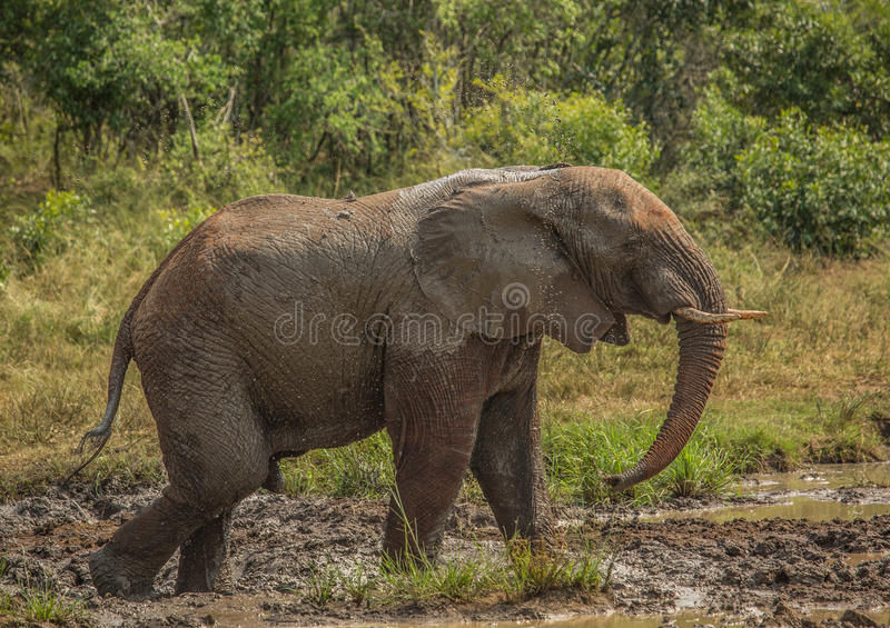 Young african savannah elephant bull at a waterhole spraying mud on his body as sun protection at the Hluhluwe iMfolozi Park. In South Africa royalty free stock photography