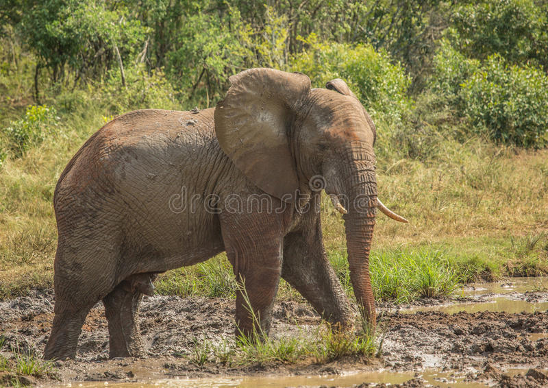 Young african savannah elephant bull at a waterhole spraying mud on his body as sun protection at the Hluhluwe iMfolozi Park. In South Africa stock photography