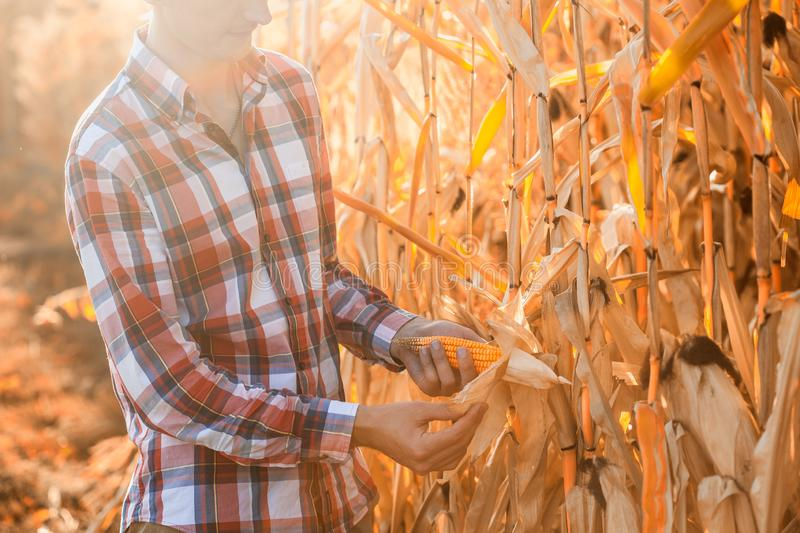 Young agronomist checks the ripeness of the corn crop. A young agronomist checks the ripeness of the corn crop in the field royalty free stock photography