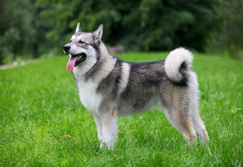 Download Young Alaskan Malamute stock image. Image of green, color - 25279101