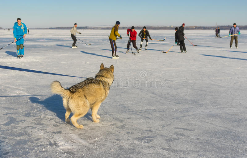 Young Alaskan Malamute watching with interest hockey game on a frozen river Dnepr in Ukraine. Dnepr, Ukraine - January 22, 2017: Young Alaskan Malamute watching royalty free stock photos