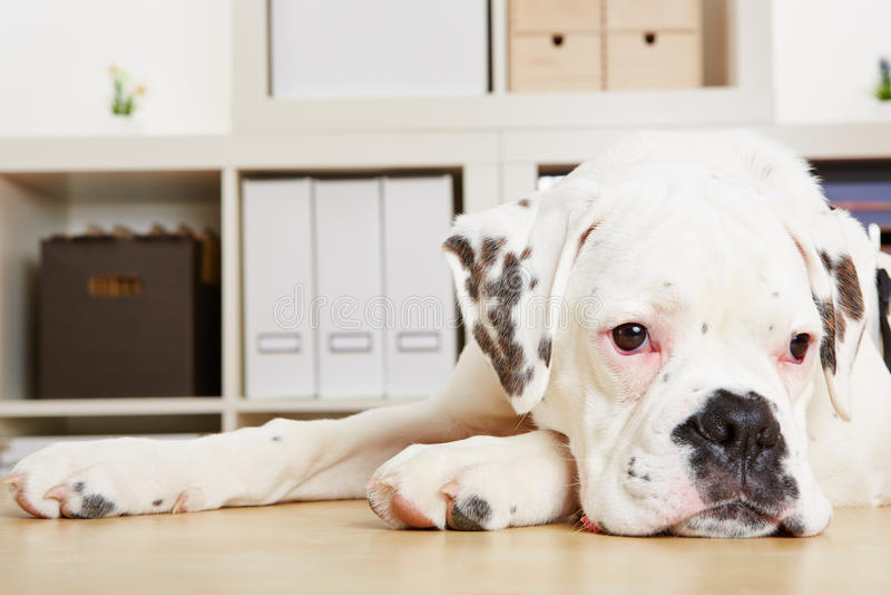 Young albino boxer dog looking sad royalty free stock image