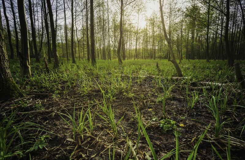 Young alder forest stock photography