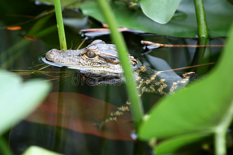 Young Alligator stock photography