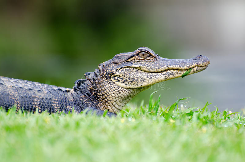 Young Alligator Magnolia Springs State Park stock photography