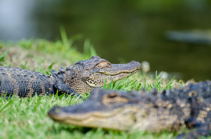 Young Alligator Magnolia Springs State Park royalty free stock images
