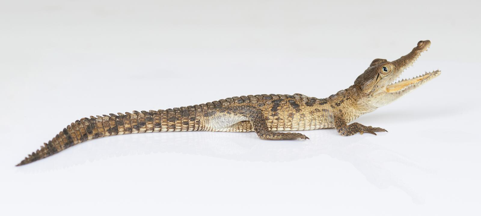 Young alligator with open mouth stock photo