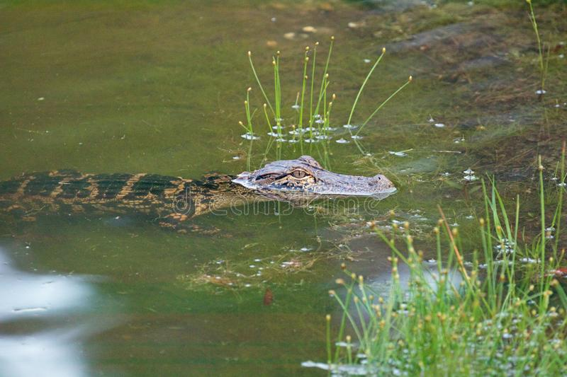 Young Alligator in a pond stock image