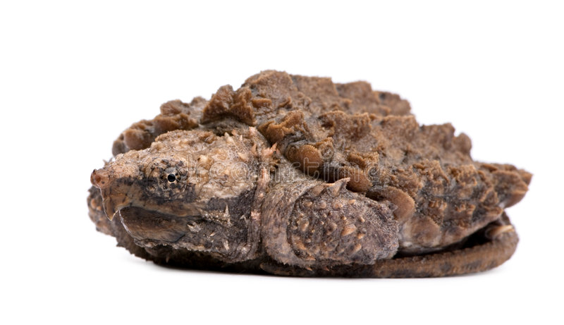 Young Alligator Snapping Turtle - Macrochelys temm royalty free stock images
