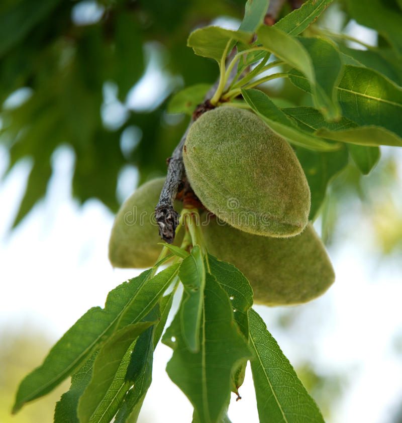 Download Young Almond Royalty Free Stock Image - Image: 14012156